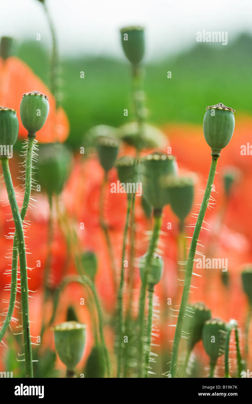 Poppy Seed Pods Stock Photos Poppy Seed Pods Stock Images Alamy