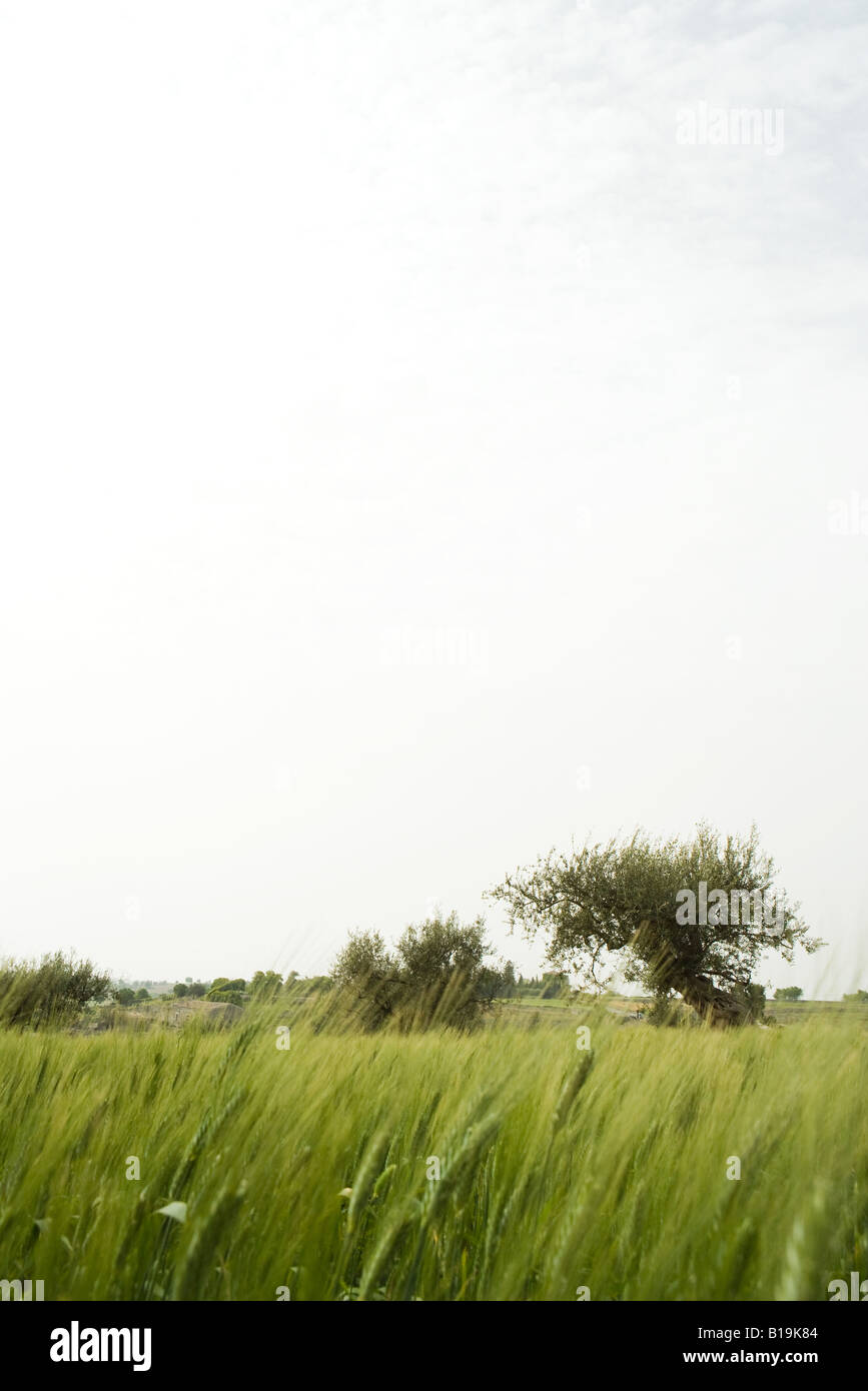 Rural field with olive trees - Stock Image