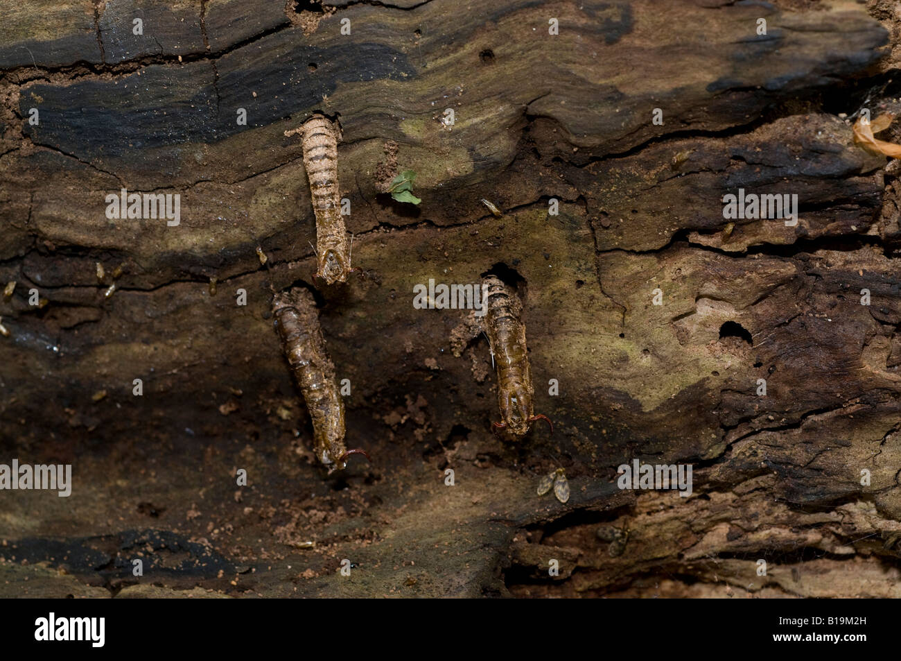 Empty pupal cases of Crane Flies possibly Ctenophora or Tipula sticking out of a rotten log - Stock Image
