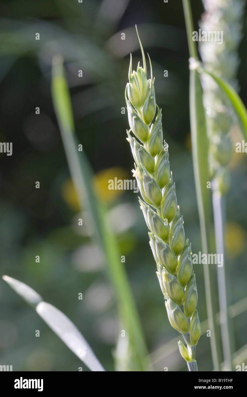 anthesis stage Developmental phases management decisions must be linked to plant development to optimize yield, quality, and regrowth potential below is a brief description of the phases and management applications.