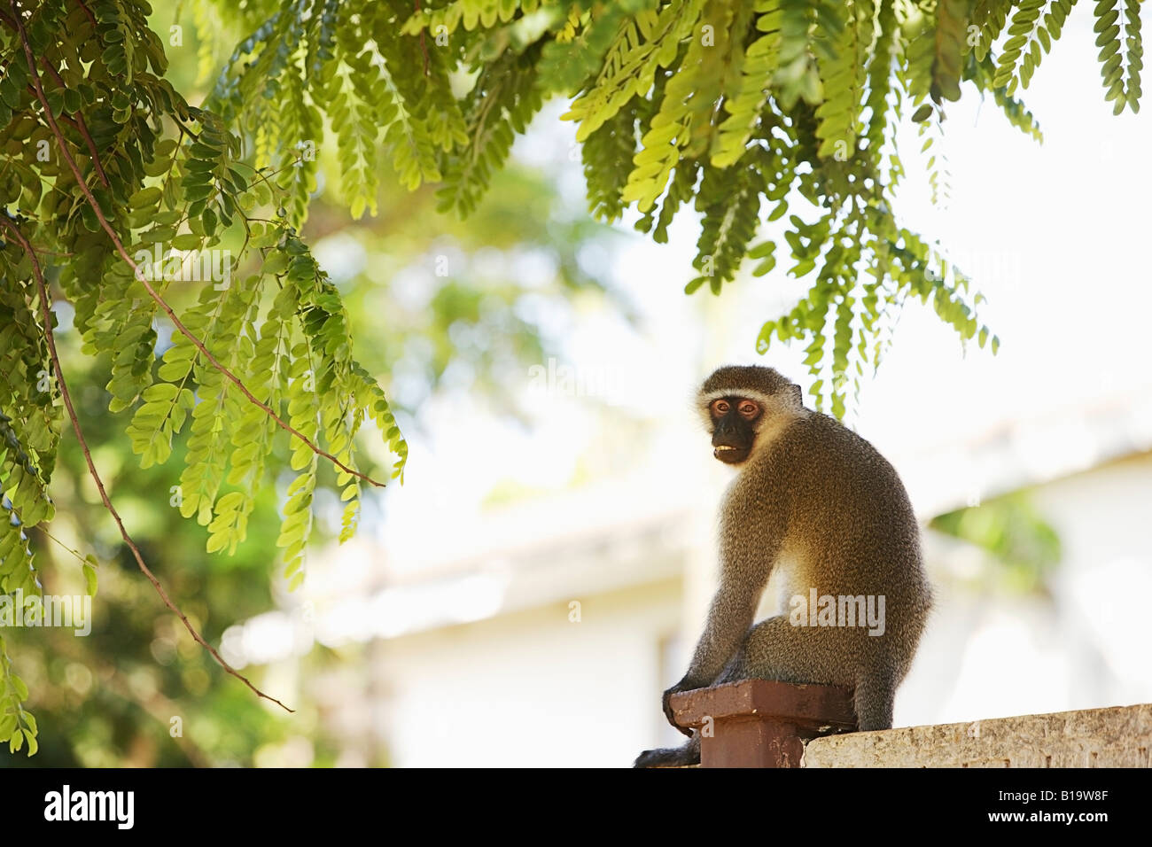 Monkey sitting on a fence post - Stock Image