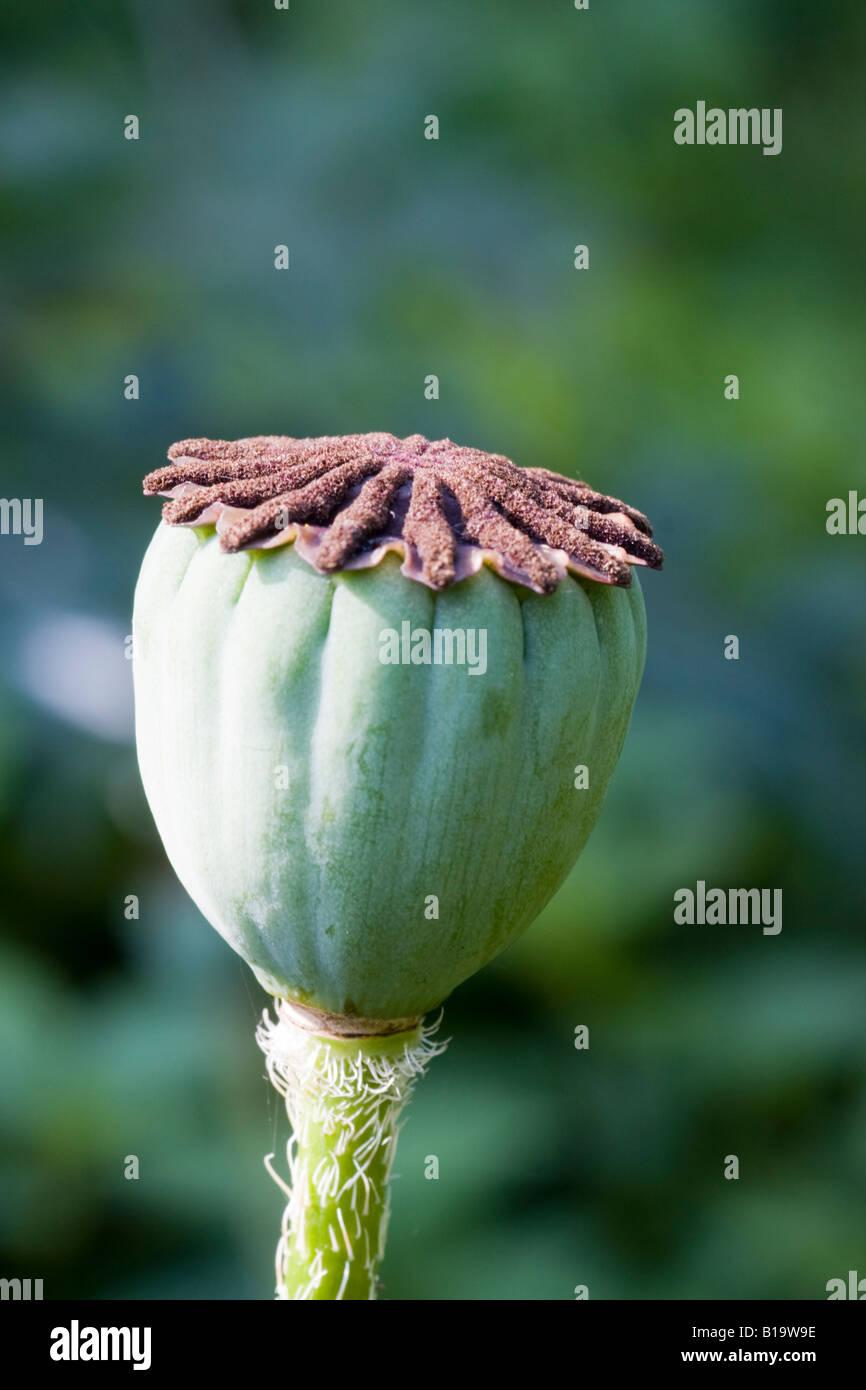 Oriental Poppy Seed Pod Stock Photos Oriental Poppy Seed Pod Stock