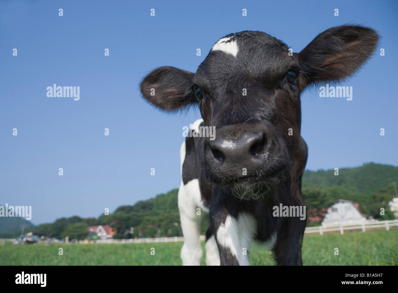 One calf standing - Stock Image
