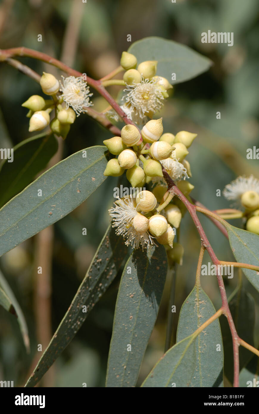 Gum tree Eucalyptus spp flowers stamens and buds with fused petals Crete - Stock Image