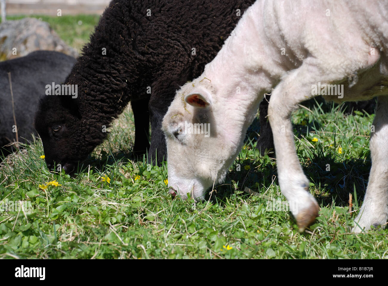 A white sheep and a black lamb eating grass - Stock Image