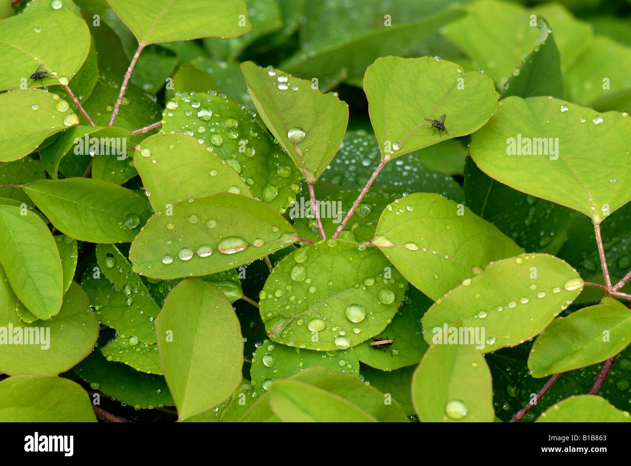 Chocolate vine stock photos chocolate vine stock images alamy chocolate vine akebia quinata with rainwater droplets after early morning shower stock image mightylinksfo