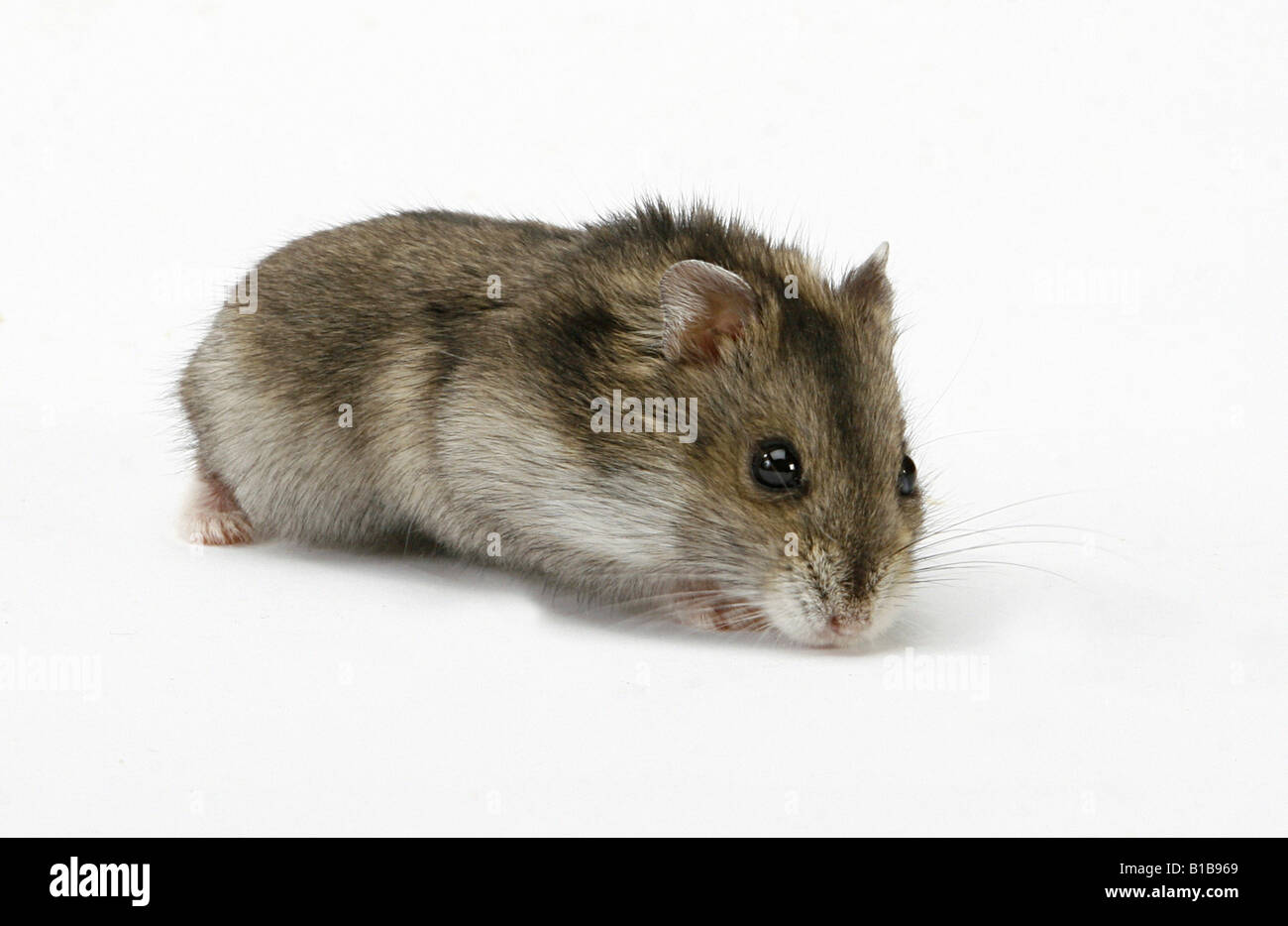 Dzhungarian Dwarf Hamster - cut out Stock Photo: 18073729