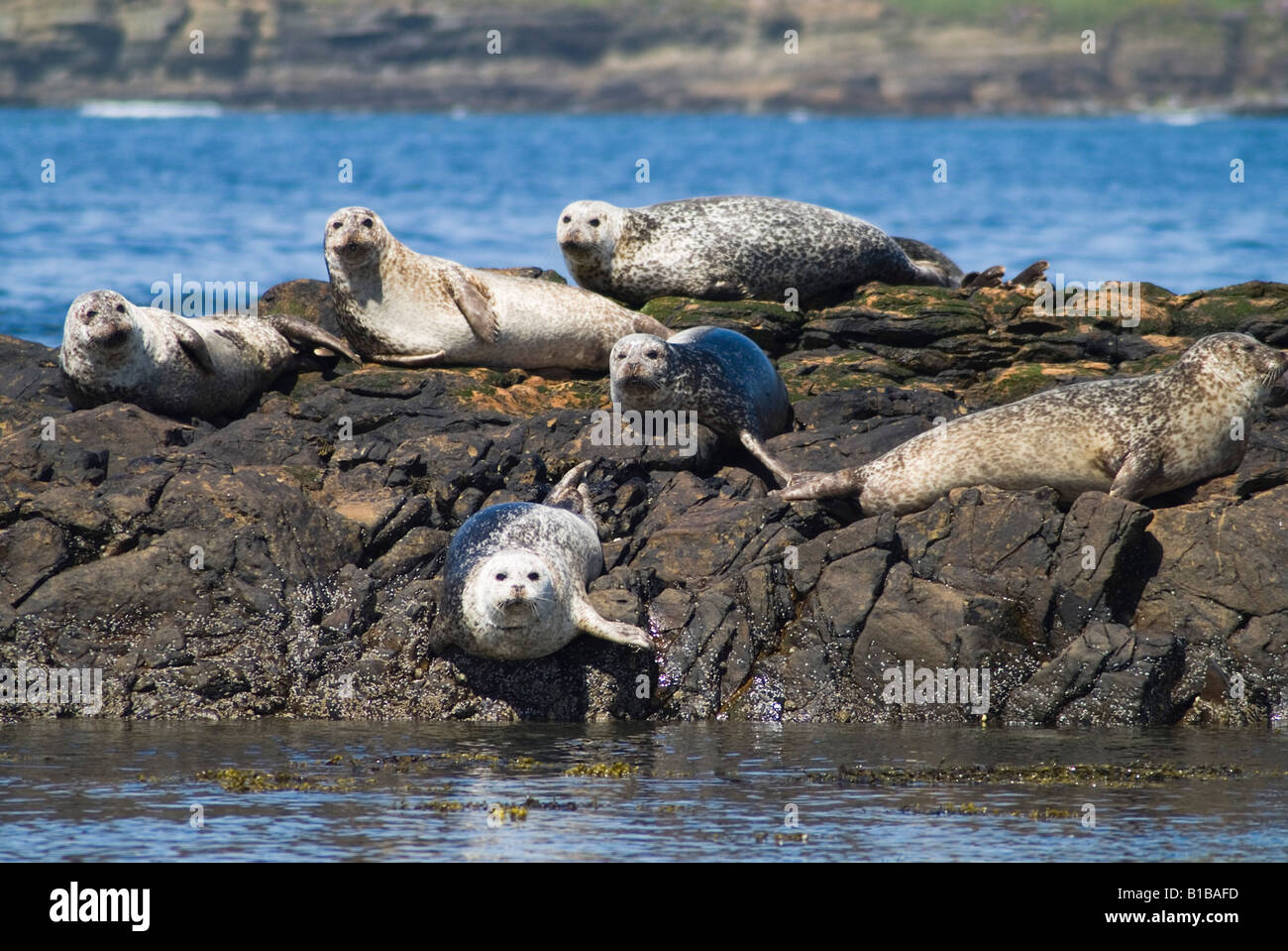 dh phoca vitulina SEAL UK Common seals basking on rocks Birsay Orkney seal colony Scotland rock - Stock Image