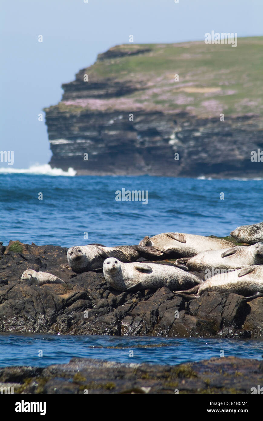 dh Phoca vitulina SEAL ORKNEY uk Common seal basking on rock Birsay Orkney rocks seals colony Scotland Stock Photo