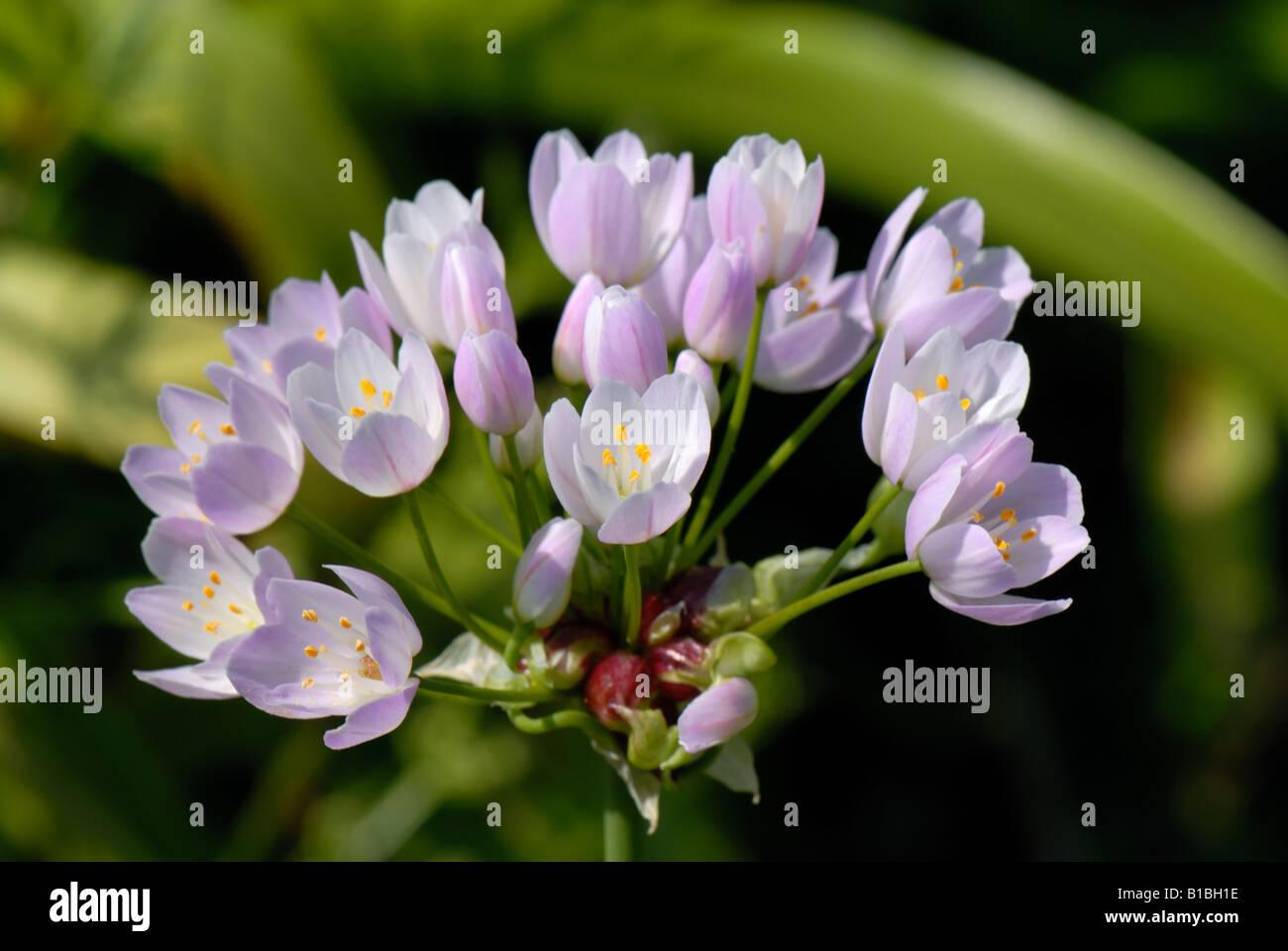 Allium roseum pink flowers on a perennial garden bulb - Stock Image