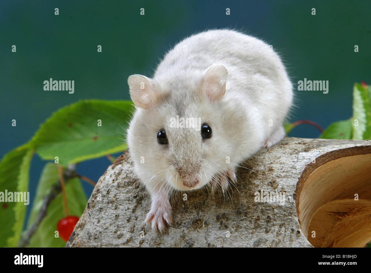 Robo Hamster Stock Photos & Robo Hamster Stock Images - Alamy
