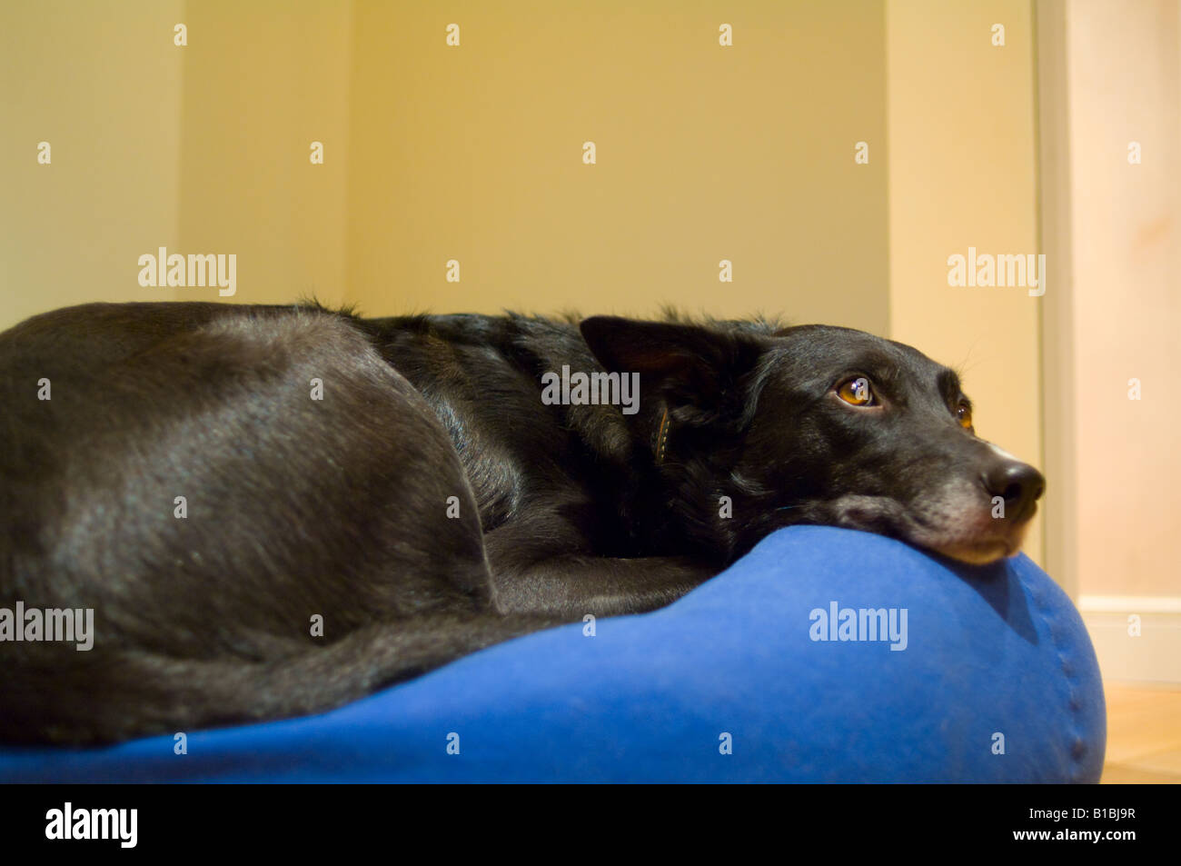 Dog resting on a bean bag - Stock Image