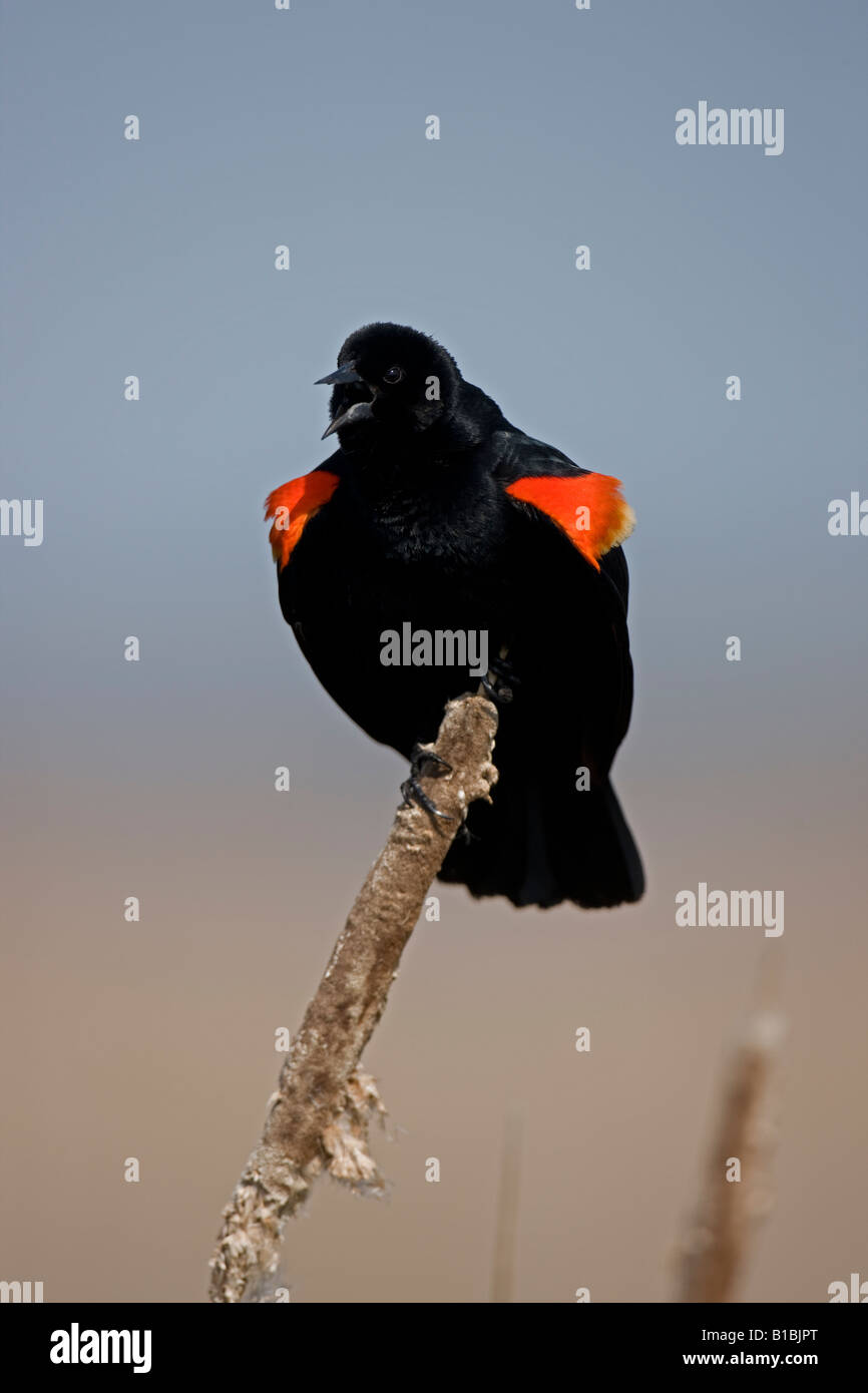 Red-winged Blackbird - Adult male performing courtship display New York - USA Stock Photo