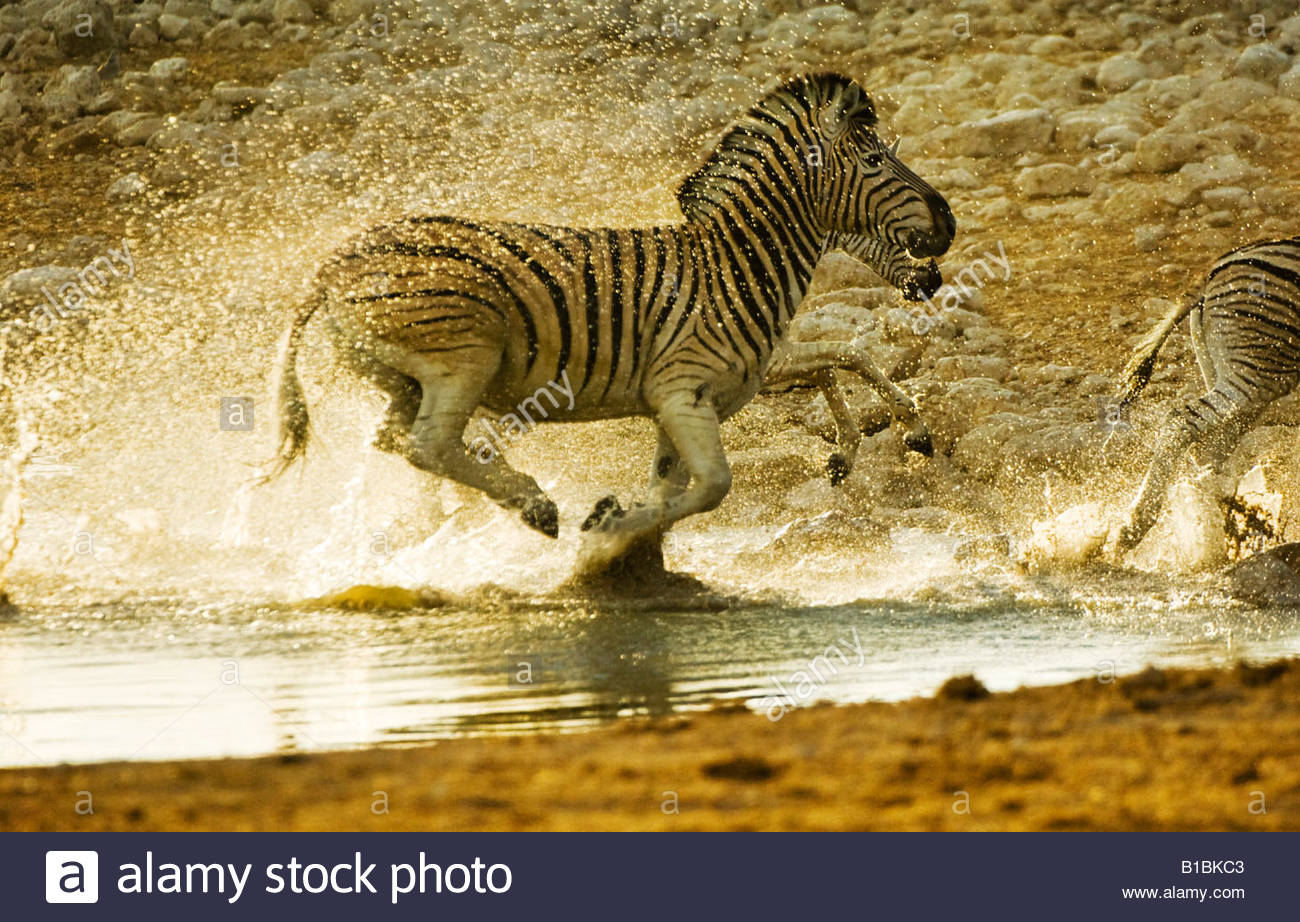 Zebras Running Through Water Zebra Run Stock Photos...