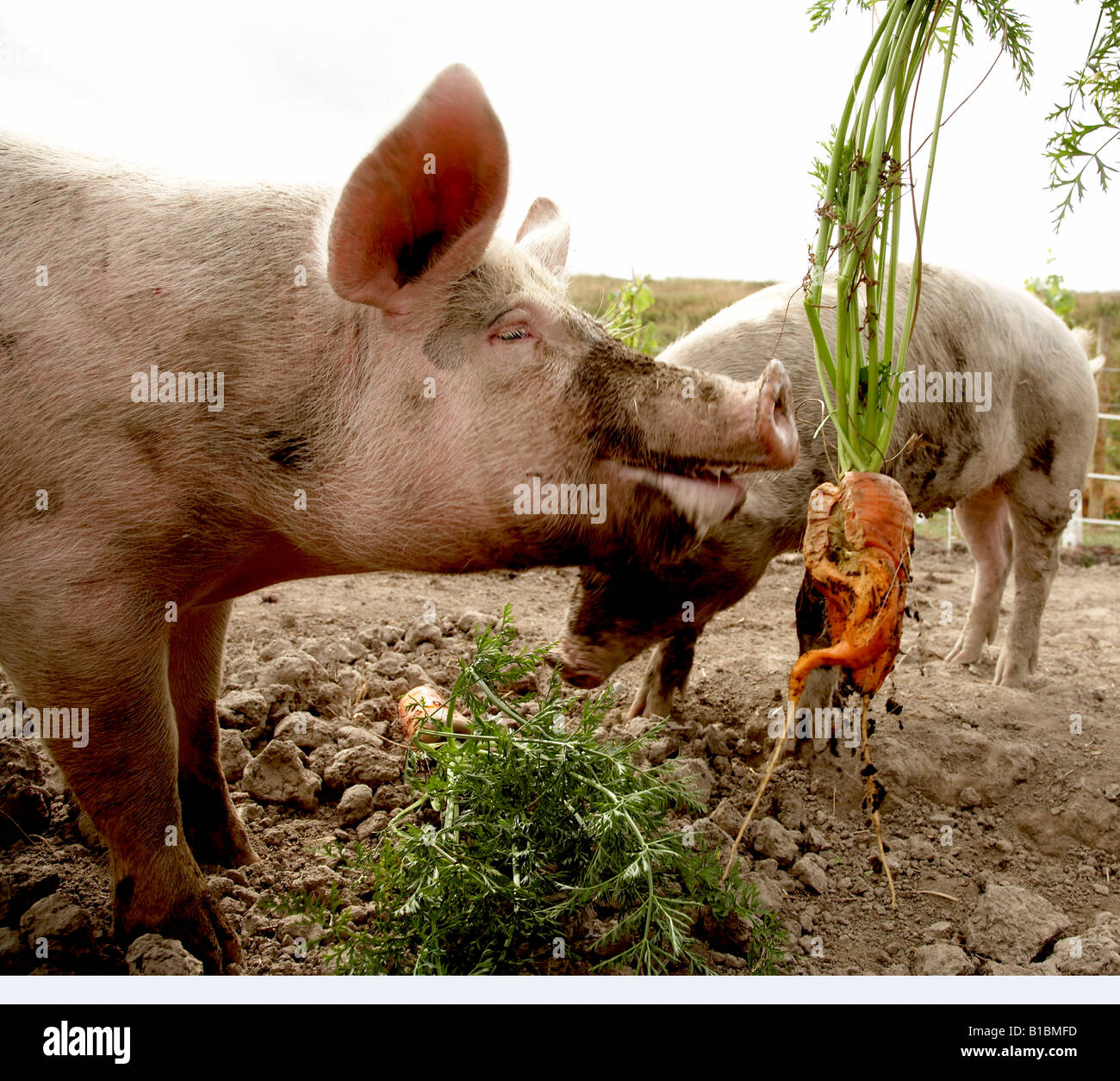 free range pigs being fed carrots out of the garden - Stock Image
