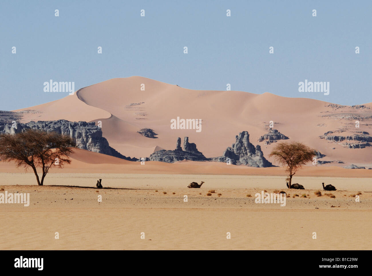 geography / travel, Algeria, landscapes, Sahara Desert, dunes of Erg Tin Merzouga, camels under Acacia trees, Additional - Stock Image