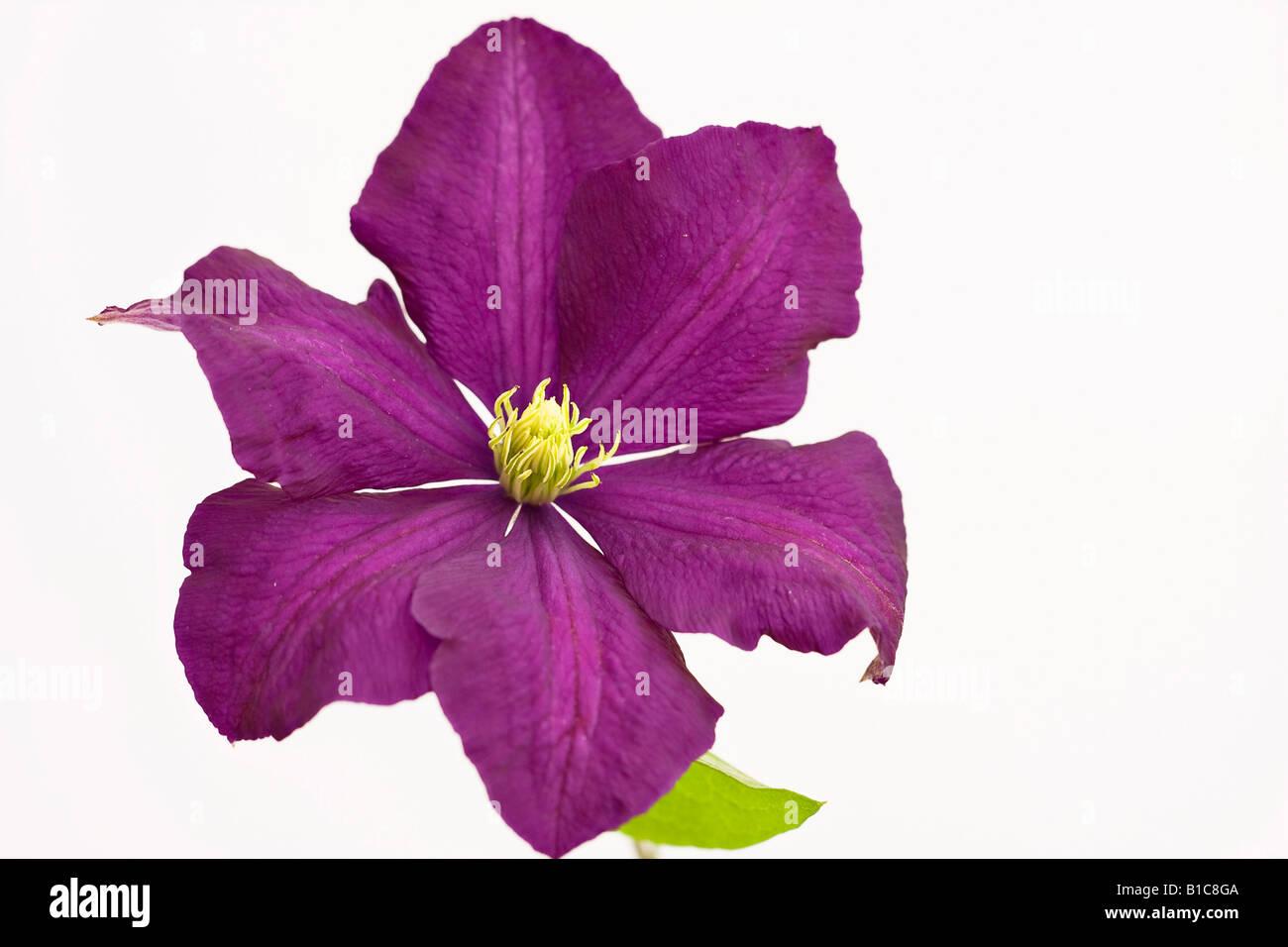 Purple Spring Flowering Clematis Flower Stock Photo 18095178 Alamy
