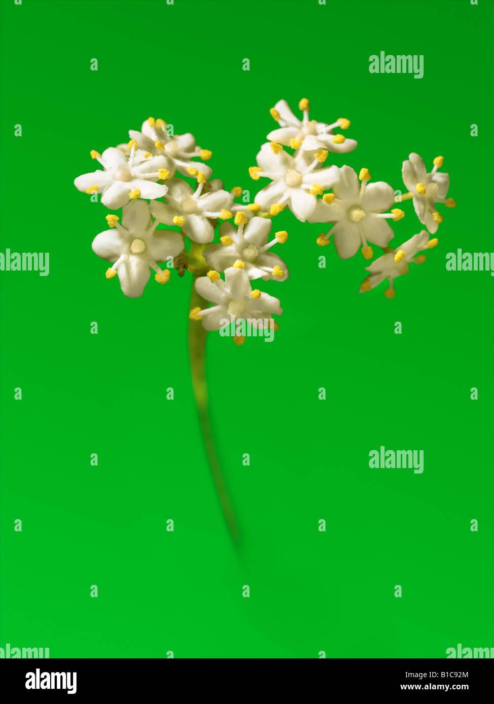 Elderflower - Stock Image