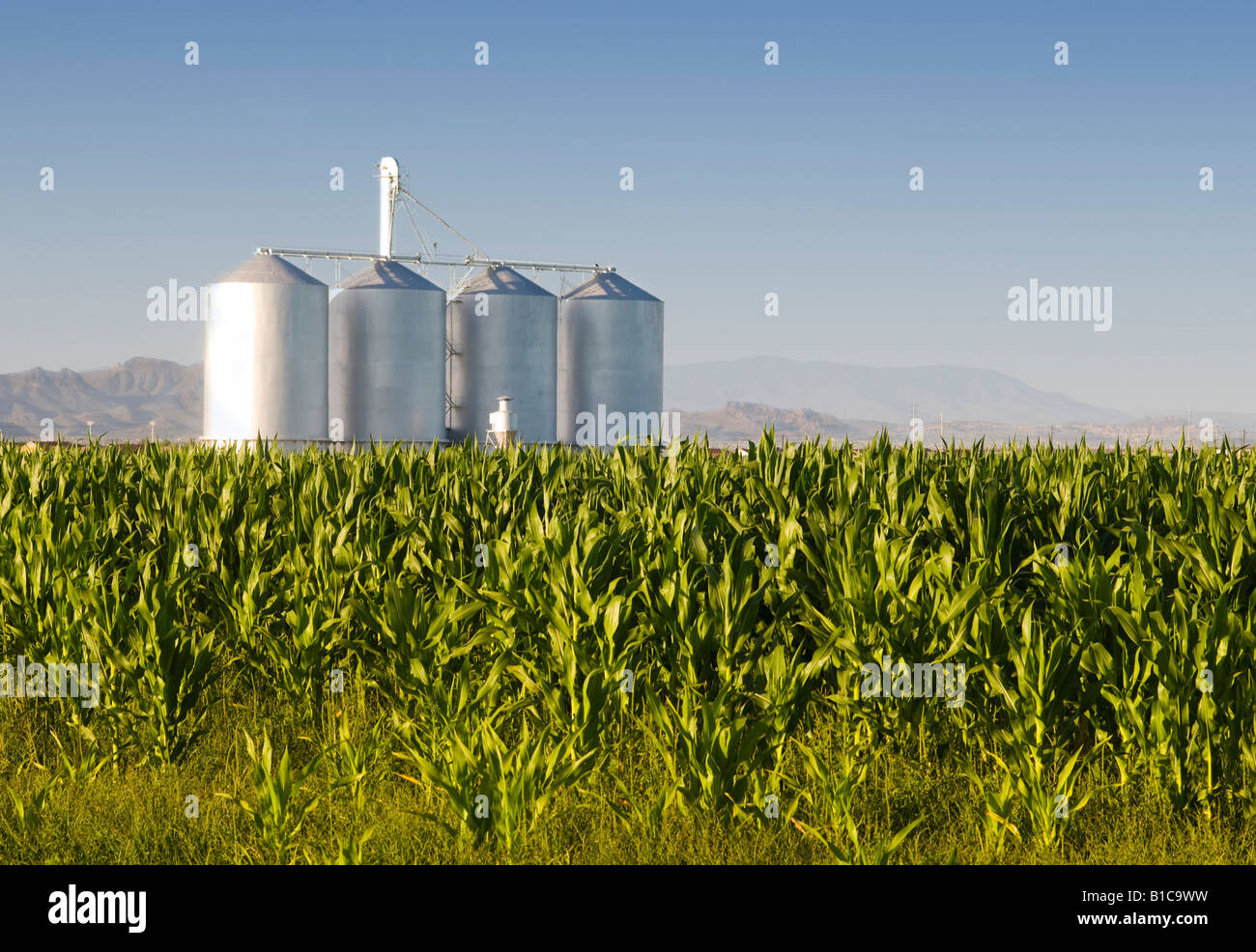 Corn crop with farm silos and mountains in background - Stock Image
