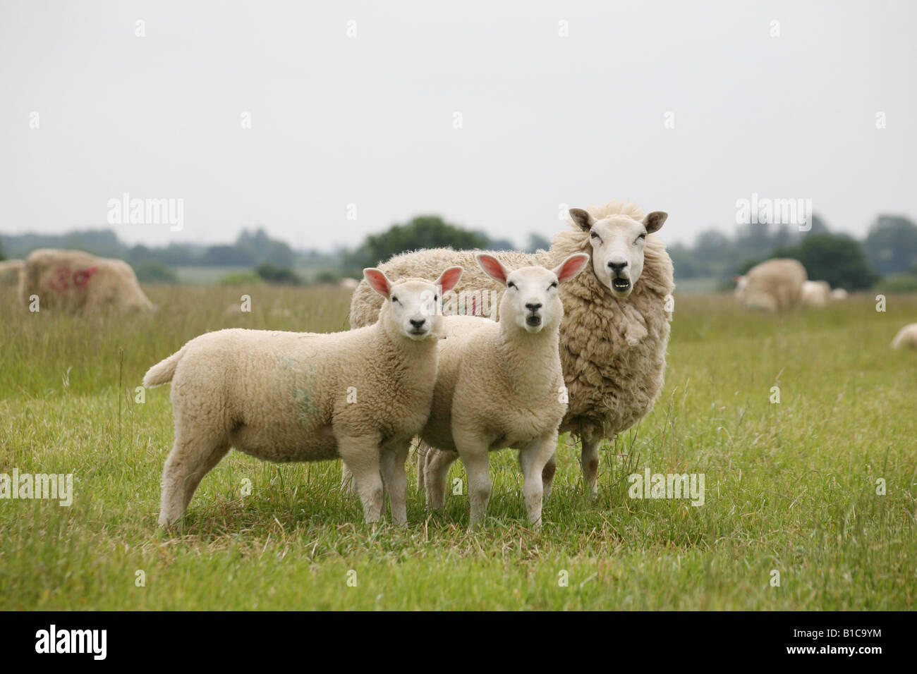 Two lambs and their mother bleating and showing teeth in a field at Steeple Bumstead on the Essex Suffolk Borders - Stock Image