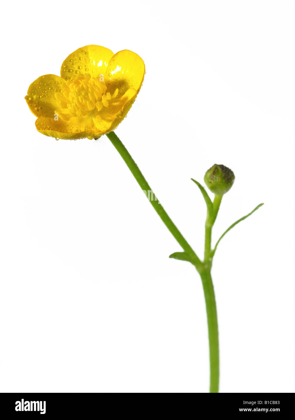 buttercup - Stock Image