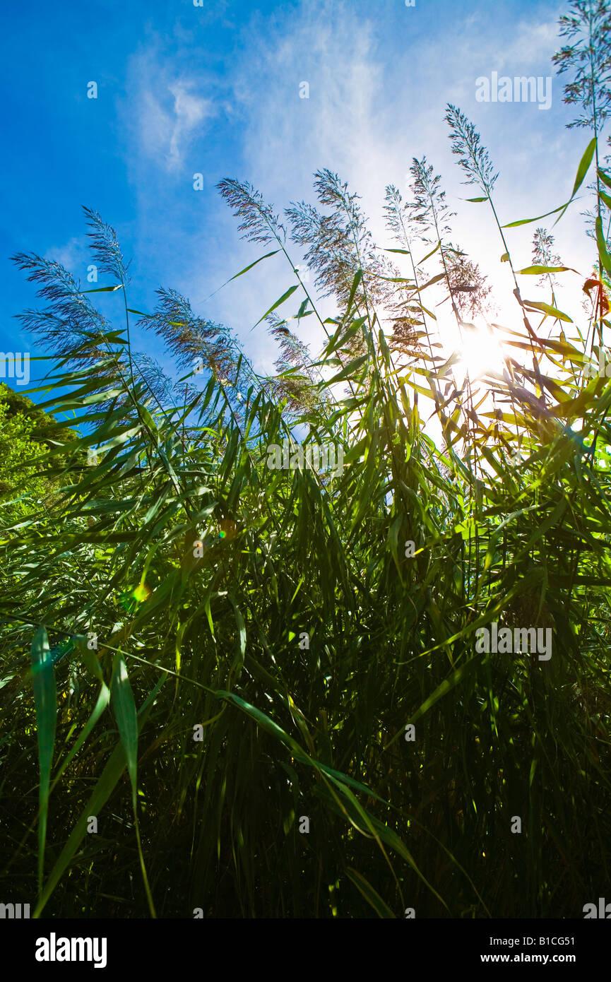sun sparkling through reeds - Stock Image