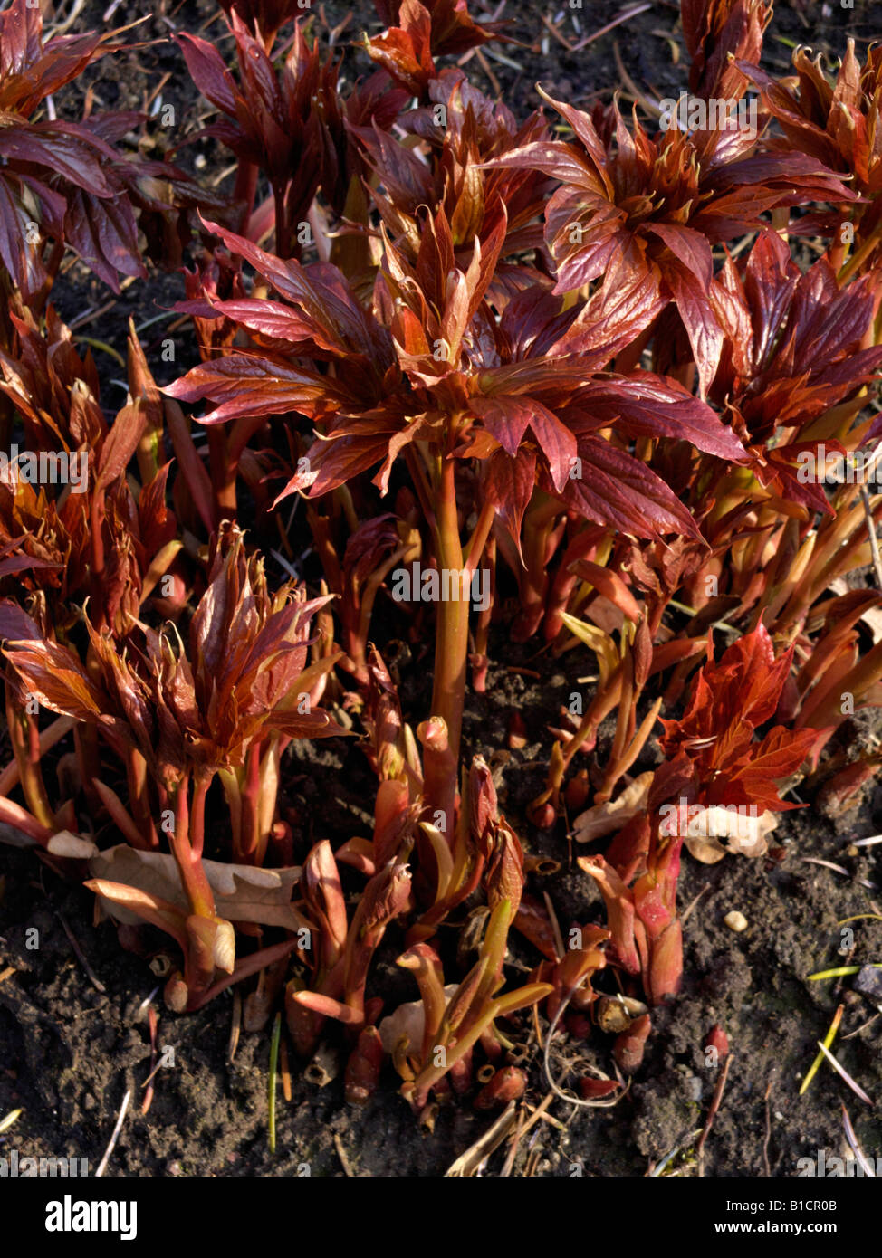 Himalayan peony (Paeonia emodi) - Stock Image