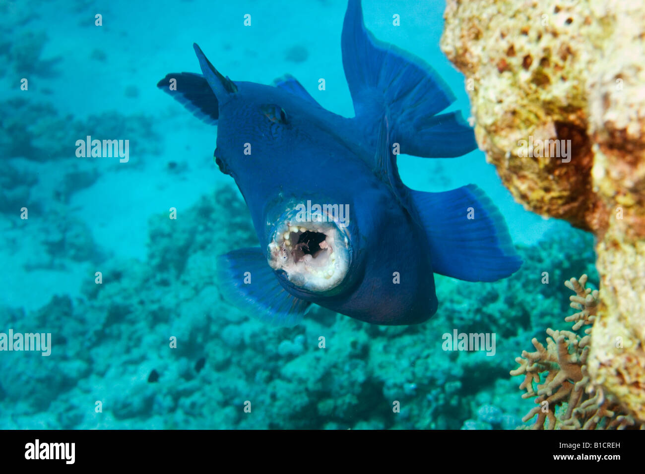 A Blue Trigger Fish on a reef near Sharm El Sheikh, Red Sea, Egypt - Stock Image