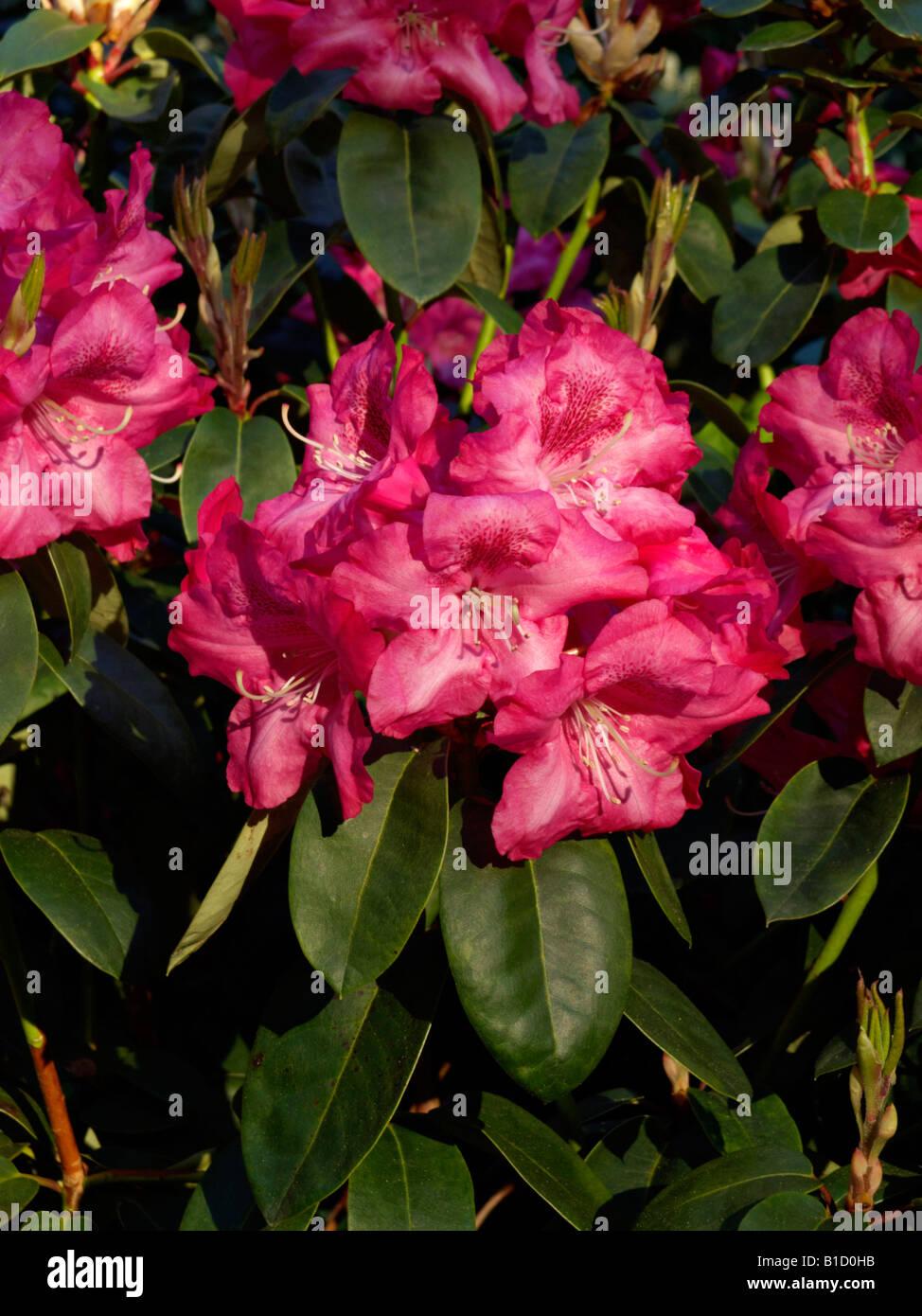 William's rhododendron (Rhododendron williamsianum 'Lissabon') Stock Photo