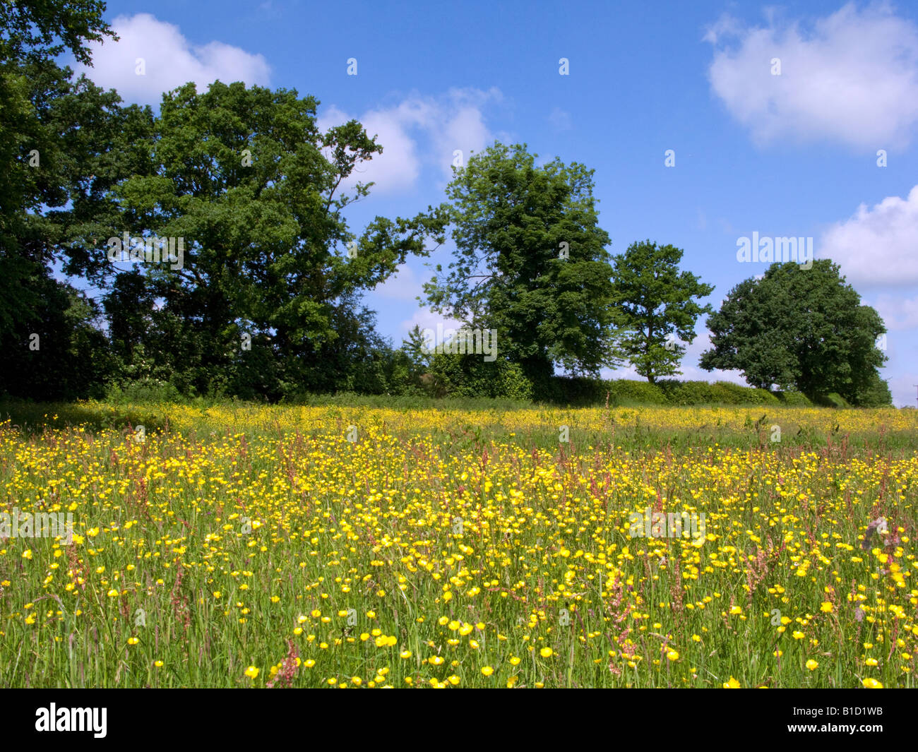 Summer meadow in the Chilterns - Stock Image