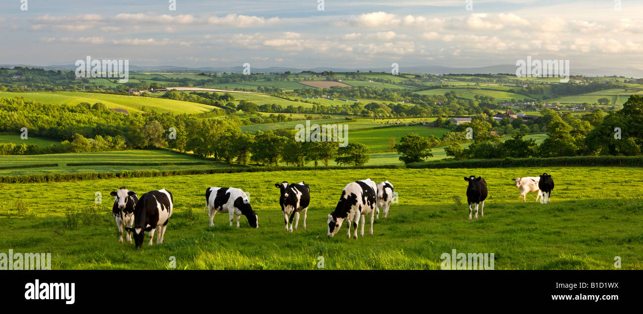 Friesian cows grazing on the beautiful mid Devon Countryside England - Stock Image
