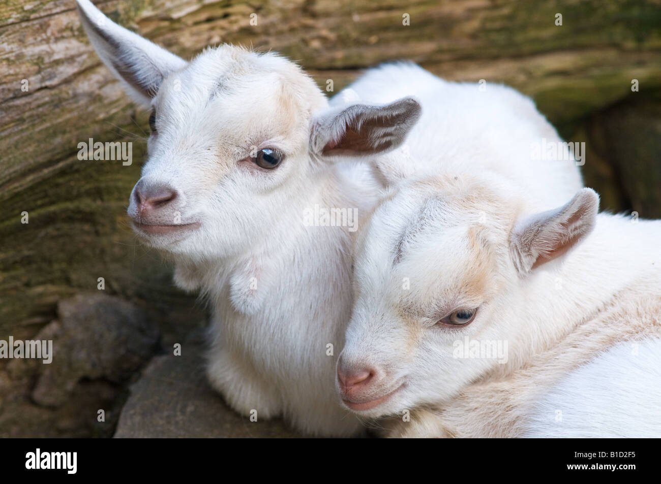 Young Pygmy Goat Kids - Stock Image