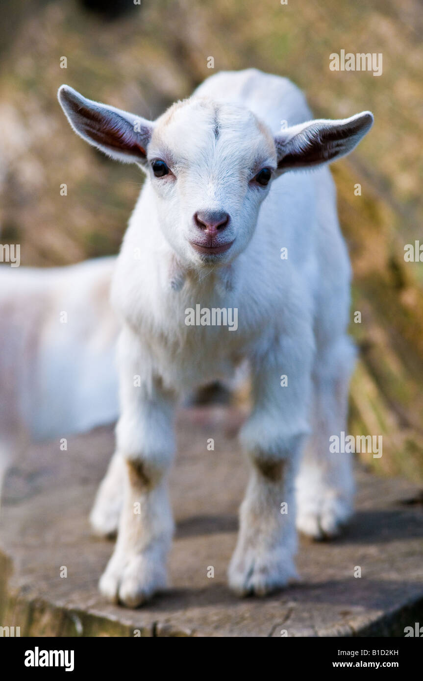 Young Pygmy Goat Kid - Stock Image