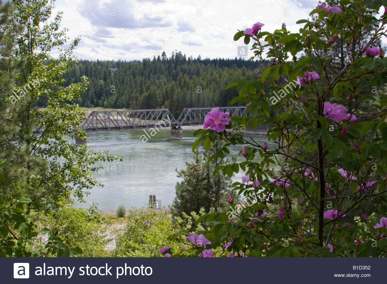 Railroad bridge over the Pend Oreille River in North Idaho with a wild rose bush blooming in the foreground. - Stock Image