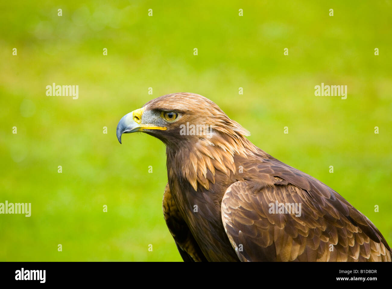Portrait of Golden Eagle, British Bird of Prey, UK - Stock Image