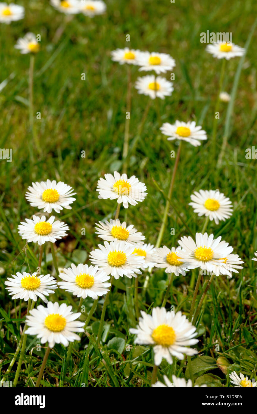 Daisy flowers in a lawn - Stock Image
