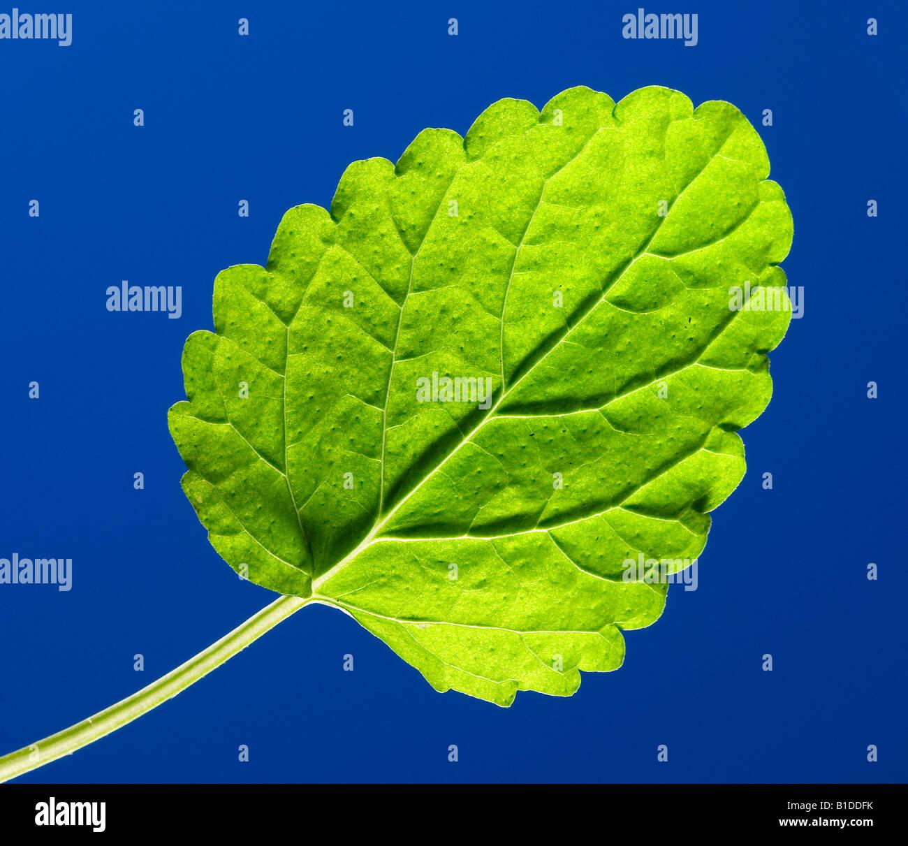 A lemon balm leaf Stock Photo