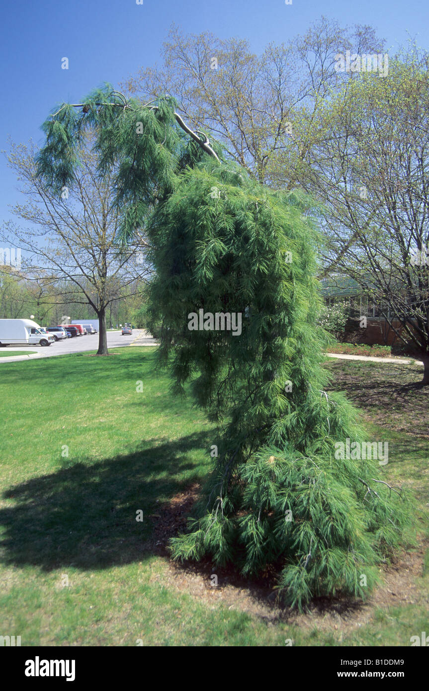 Weeping White Pine Stock Photos Weeping White Pine Stock Images