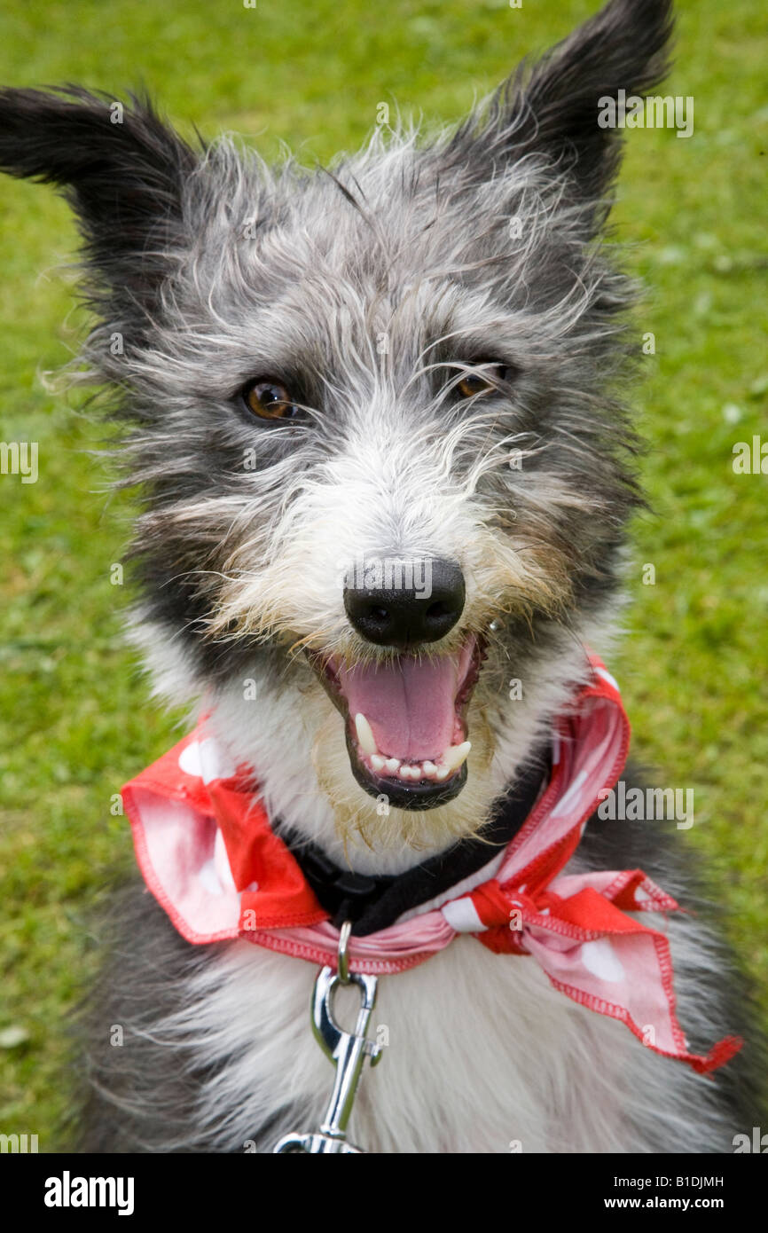 A black & white Merle lurcher, which is the offspring of a sighthound mated with another breed,  Rescue Dog wearing Stock Photo