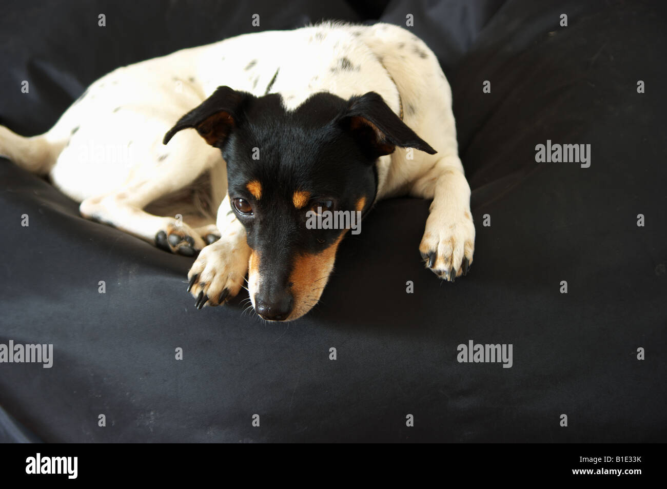 A Jack Russell called Macy lying on a Fatboy bean bag - Stock Image