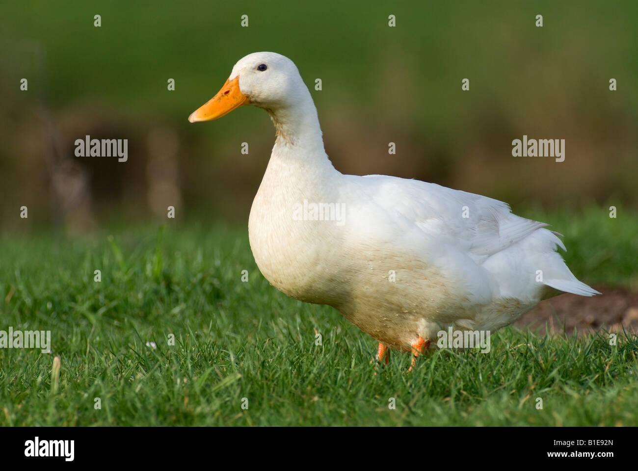 A white duck against green grass - Stock Image