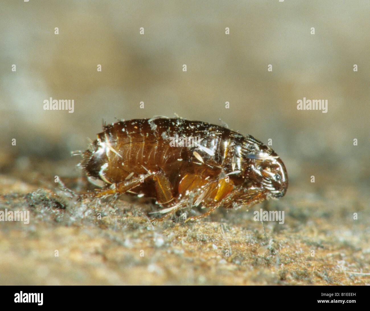 Cat Flea (Ctenocephalides felis) - Stock Image