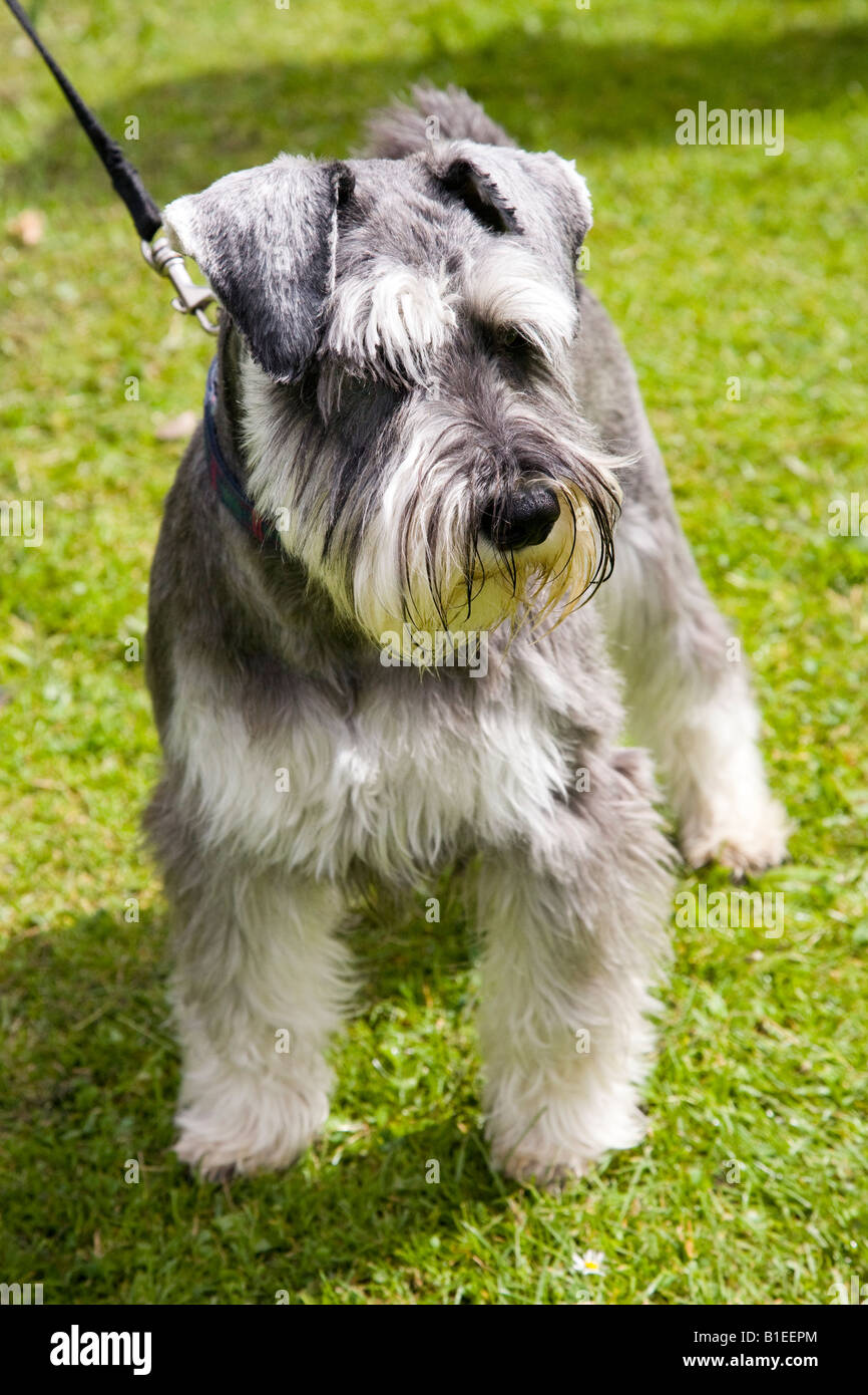 Miniature Schnauzer show dog on lead - Stock Image