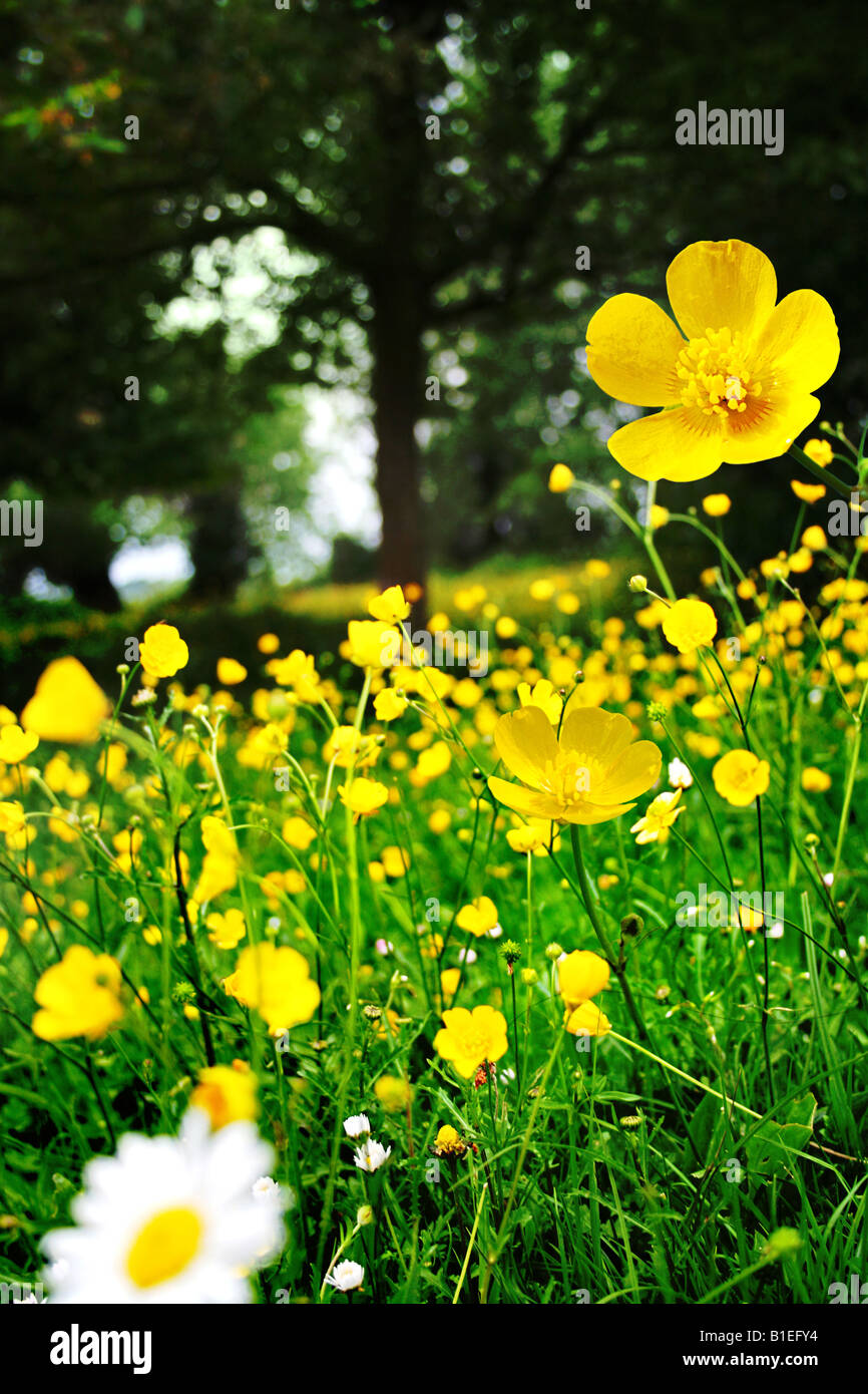 buttercups and daisy with woodland background - Stock Image