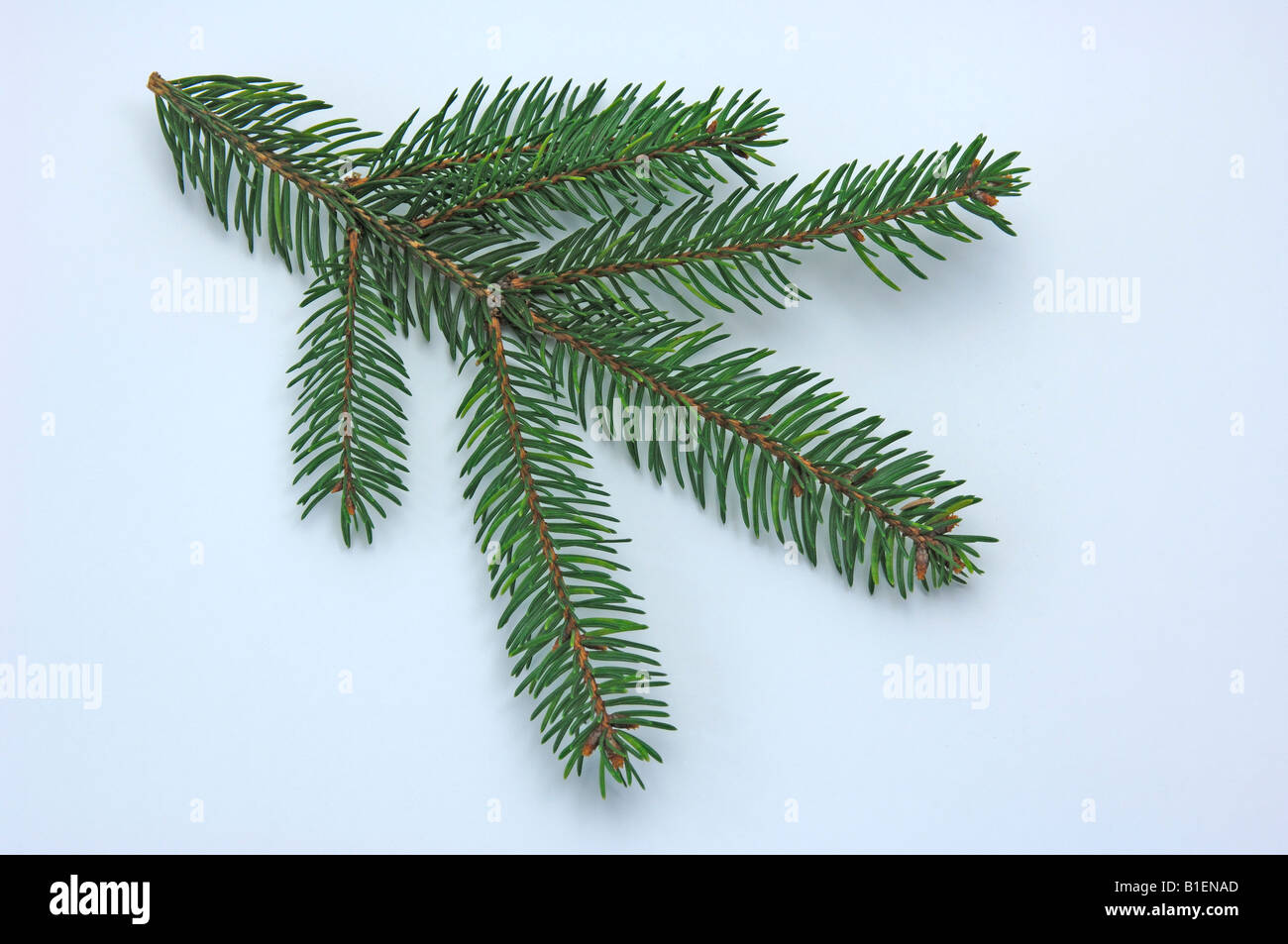 Common Spruce, Norway Spruce (Picea abies), twig, studio picture - Stock Image