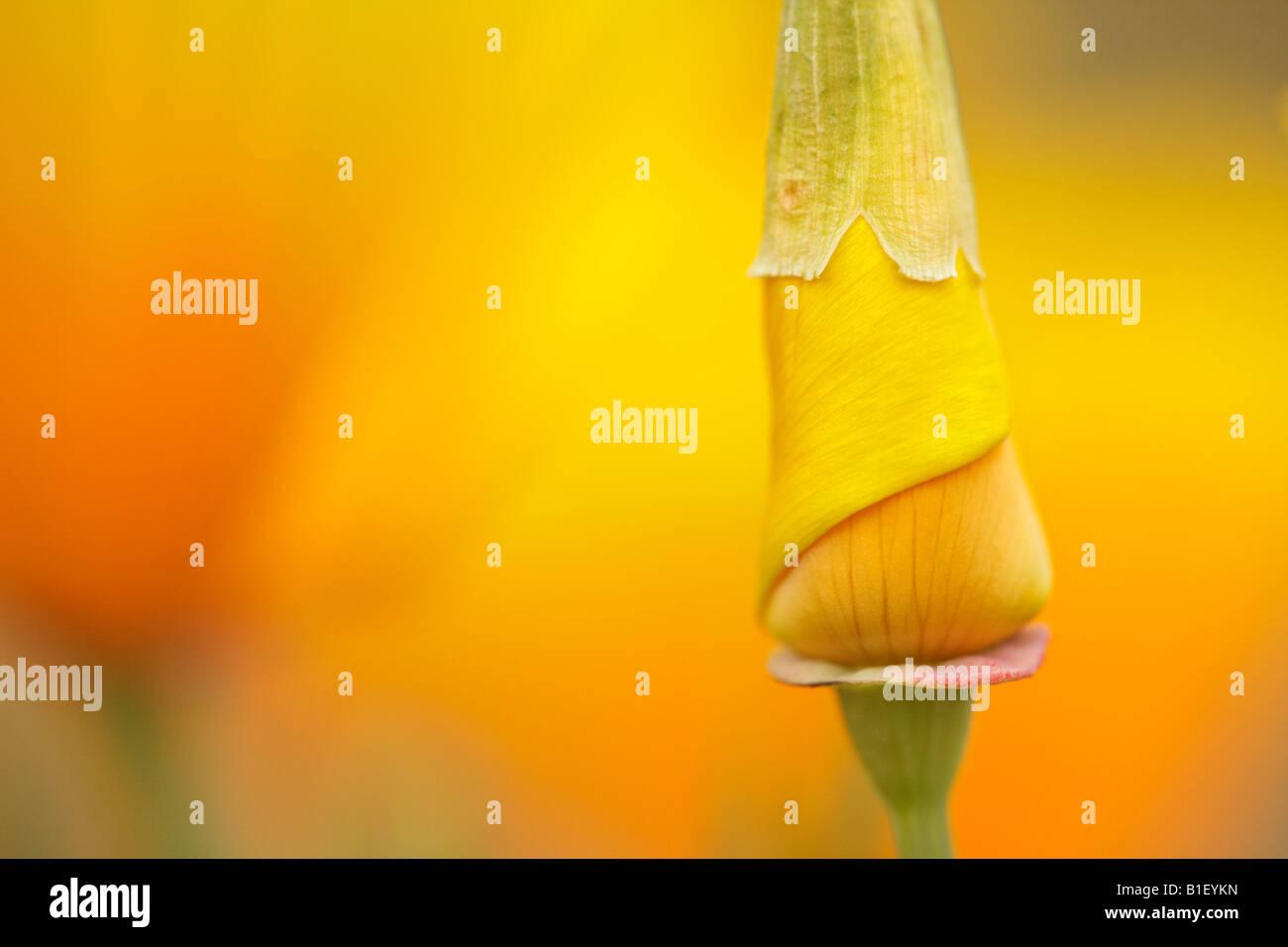 Closeup image of California Poppy flower in spring Victoria British Columbia Canada - Stock Image