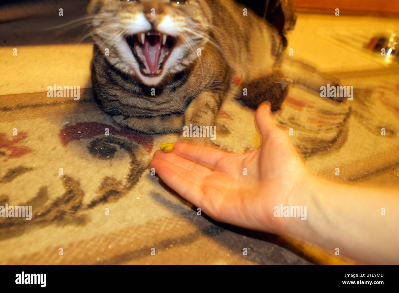 Cat hisses while being fed a treat - Stock Image