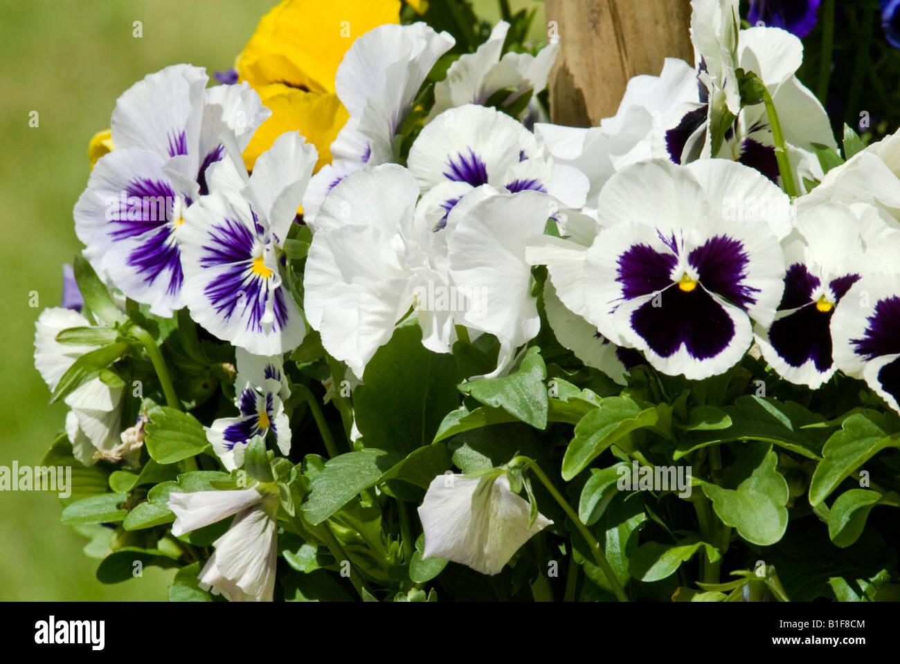 Pansies in an English garden. - Stock Image