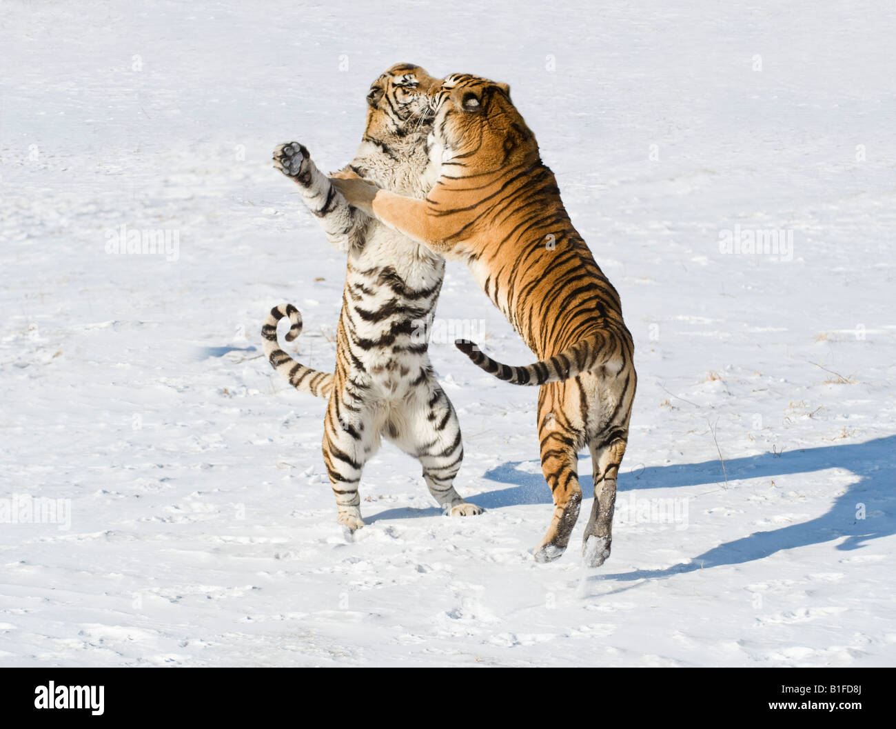 Siberian Tigers fighting in the snow China - Stock Image