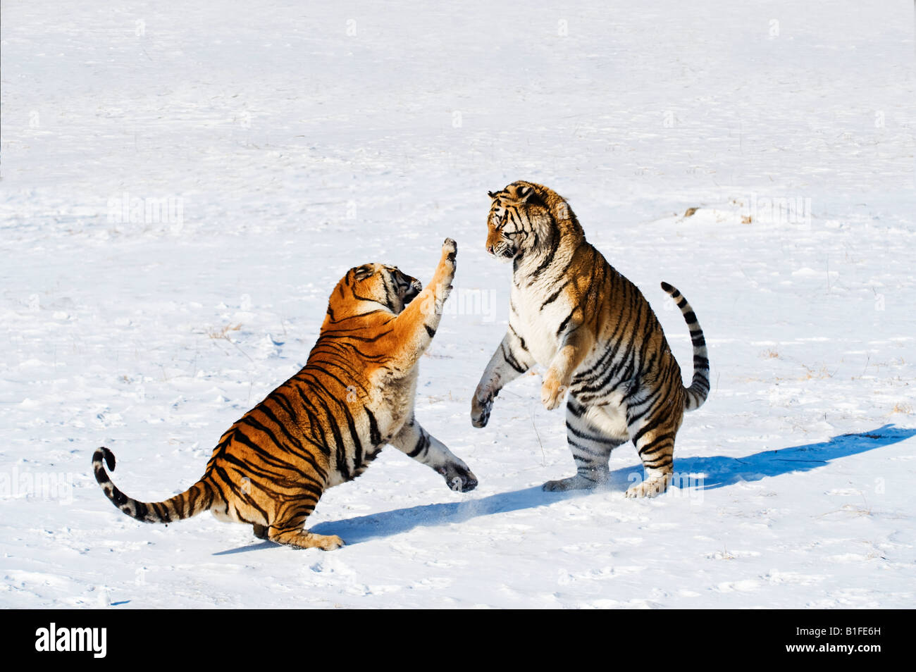 Siberian Tigers fighting in the snow China Stock Photo